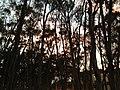 UCSD Eucalyptus Grove 4 2013-08-29.jpg