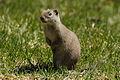 Uinta ground squirrel at Mammoth Hot Springs - 01.jpg