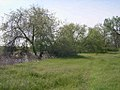 Ulmus parvifolia trees-5-01-05.jpg