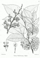 Ulmus wallichiana Bra51.png