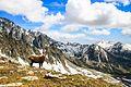 Un bouquentin dans son milieu naturel, parc naturel national du Mercantour.jpg