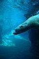 Underwater Polar Bear (2987556684).jpg