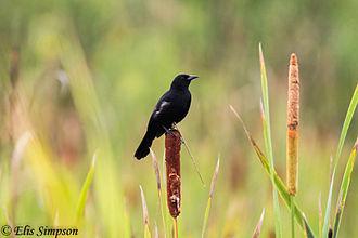 Unicoloured blackbird - Male