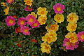 Unidentified Portulaca flowering in a garden 3.jpg