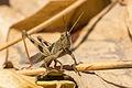 Unidentified brown grasshopper, Sambisari Temple Complex, Yogyakarta, 2014-09-28 04.jpg