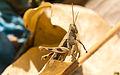 Unidentified brown grasshopper, Sambisari Temple Complex, Yogyakarta, 2014-09-28 06.jpg
