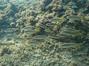 Upeneus moluccensis - Image: Upeneus moluccensis