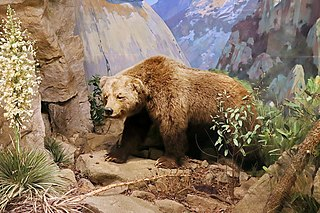 California grizzly bear Extinct subspecies of carnivore