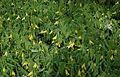 Uvularia grandiflora x perfoliata.jpg