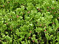 Vaccinium myrtillus flowering (1).jpg