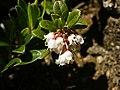Vaccinium vitis-idaea (flowering).jpg