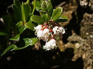 Vaccinium vitis-idaea - Flowers
