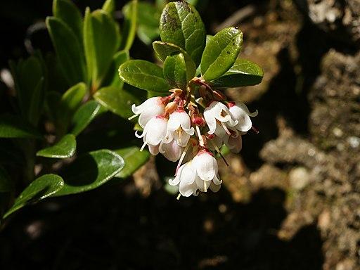 Vaccinium vitis-idaea (flowering)