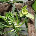 Vanilla planifolia-IMG 2126.jpg
