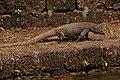 Varanus bengalensis09630.jpg