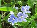 Veronica chamaedrys (Przetacznik ożankowy).jpg