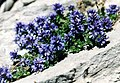 Veronica nummularia (Pyrenees).jpg