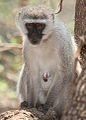 Vervet Monkey at Borakalalo National Park, South Africa (10001274864).jpg