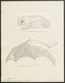 Vespertilio noctula - 1700-1880 - Print - Iconographia Zoologica - Special Collections University of Amsterdam - UBA01 IZ20800155.tif