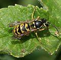 Vespula germanica - Flickr - S. Rae.jpg