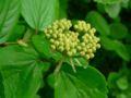 Viburnum ellipticum 07538.JPG