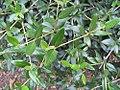 Viburnum utile 1zz.jpg