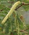 Vilaiti Keekar (Prosopis juliflora) W3 IMG 6935.jpg