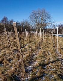 Vines in Cateaux Luna vineyard 4.jpg