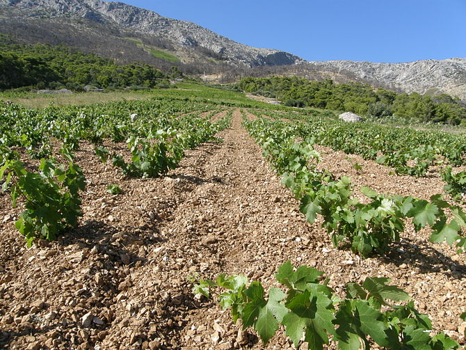 English: Vineyards on the island Hvar. Hrvatsk...