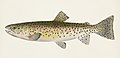 Vintage illustrations by Denton from Game Birds and Fishes of North America digitally enhanced by rawpixel 42.jpg