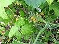 Vrille (Cucurbita maxima)01.jpg