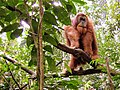 Wald Mensch in der Nähe von Bukit Lawang Sumatra.jpg
