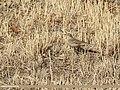 Water Pipit (Anthus spinoletta) (47714222622).jpg
