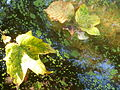 Water and Leaves 02.JPG