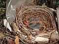 Week Old Northern Cardinal in its nest.jpg
