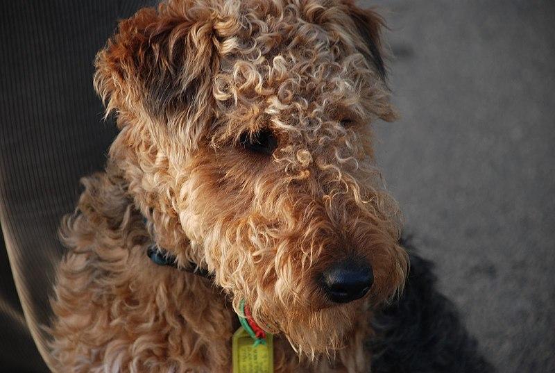 El Welsh terrier tiene una longevidad de 12 a 14 años