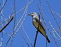 Western Kingbird (33902343805).jpg