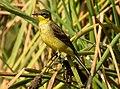 Western Yellow Wagtail Motacilla flava by Dr. Raju Kasambe DSCN3145 (9).jpg