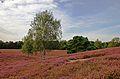 Westruper Heide 2.JPG