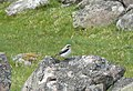 Wheatear on Tom Buidhe na Creige - geograph.org.uk - 1364916.jpg