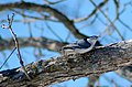 White-breasted Nuthatch (102507759).jpg