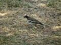 White-browed Sparrow-weaver Plocepasser mahali in Tanzania 1636 Nevit.jpg