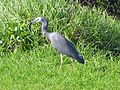 White Faced Heron eating a skink - Flickr - GregTheBusker.jpg