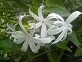 White Jasminum at Rajbiraj, Saptari, Nepal (3).jpg