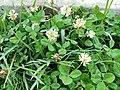 White clover3.jpg