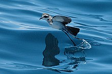 White bird with grey upperparts and black face mask jumps off water surface with elongated legs.