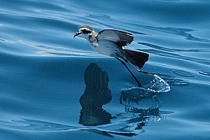 Procellariiformes - The white-faced storm petrel moves across the water's surface in a series of bounding leaps.