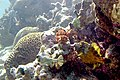 Whitespotted filefish Cantherhines macrocerus and spotted trunkfish Lactophrys bicaudalis (2413644622).jpg