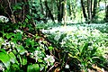 Wild Garlic - panoramio.jpg