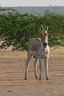 Equus hemionus - Wikipedia